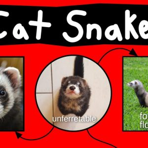 Cat Snakes, Noodle Bears, & Bandit Bois - Internet Names for Ferrets