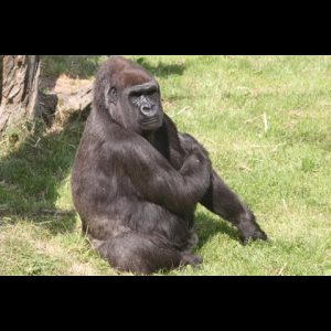 Delivering for Durrell - The project behind how Jersey went wild for gorillas